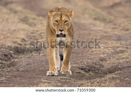 female lion looking frontal in the camera kenya africa