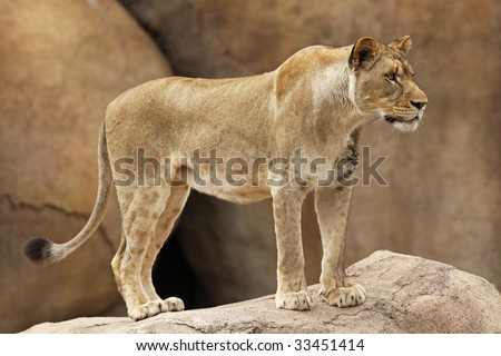 Female lion looking out onto her territory while standing on some boulders. - stock photo