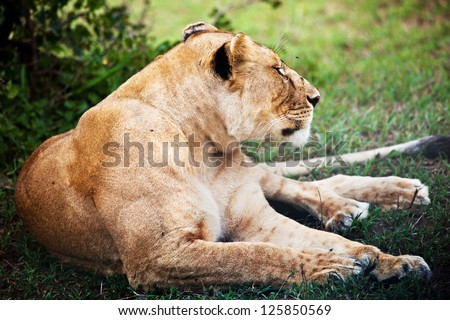 Female lion lying on savanna in Serengeti in Tanzania, Africa