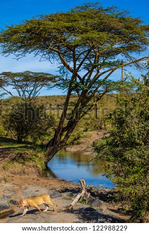 Female lion passing a water hole in in Masai Mara National Park, Kenya - stock photo