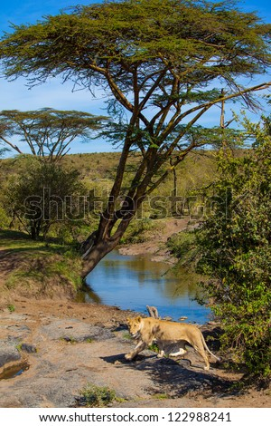 Female lion passing a water hole in  Mara River in Masai Mara National Park, Kenya - stock photo