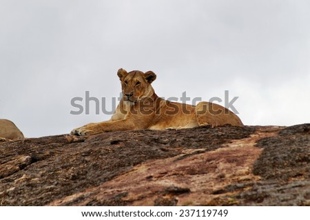 Female lion resting on big rock at Maasai Mara National Park, Kenya - stock photo