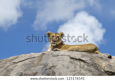 Female lion resting on the rock in Serengeti, Tanzania