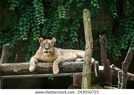 Female lion rests in Chiangmai's zoo, Thailand - stock photo