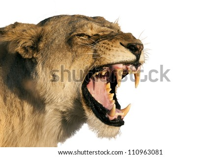 Female Lion teeth
