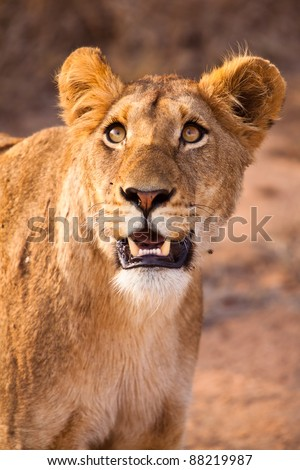 Female lion walking  through the grass in close up