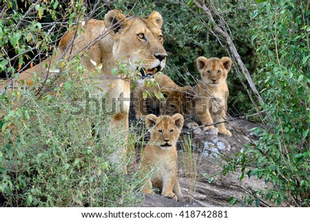 Female lion with cub in National park of Africa - stock photo