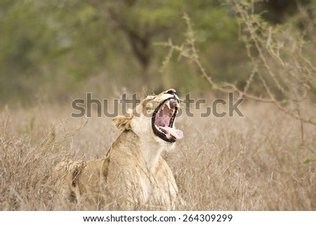 female lion yawning in the bush, Kruger, South Africa - stock photo
