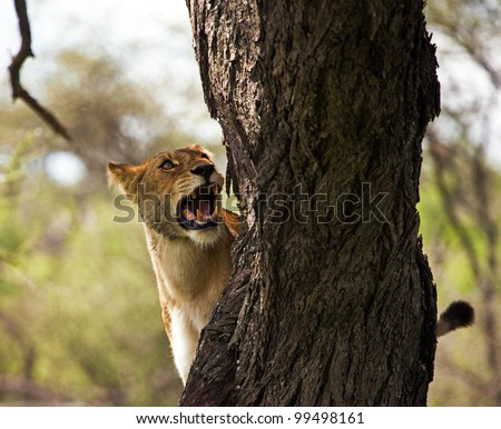 Female Lioness Hunting From Tree on the Serengeti Tanzania Africa - stock photo