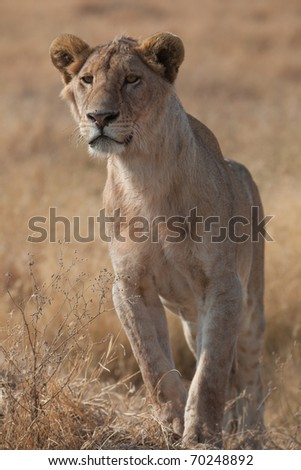 Female lioness on the Serengeti in Africa - stock photo