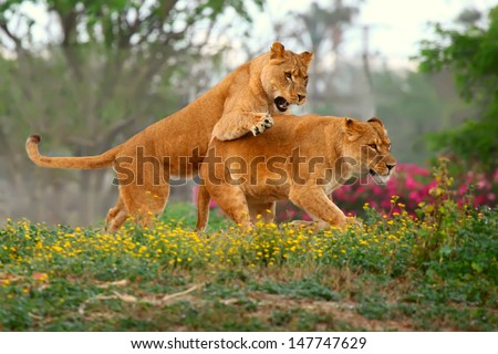 female lions chasing each other in the grass  - stock photo