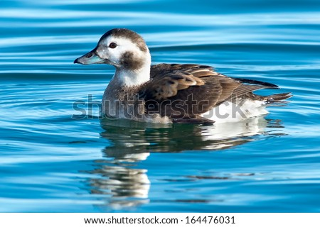 Female Long-tailed Duck swimming in the open water.