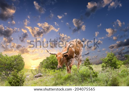 Female Longhorn cow grazing in a Texas pasture at sunrise - stock photo