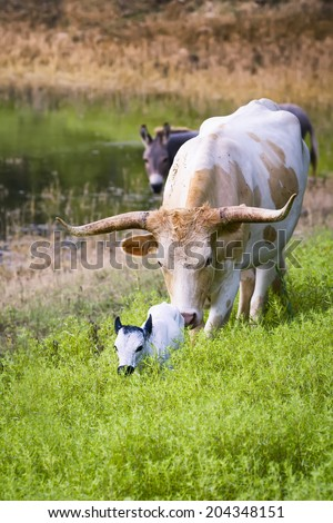 Female Longhorn cow grazing in a Texas pasture  with her newborn calf - stock photo