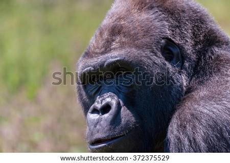 Female Lowland Gorilla (Gorilla Gorilla Gorilla) portrait - stock photo