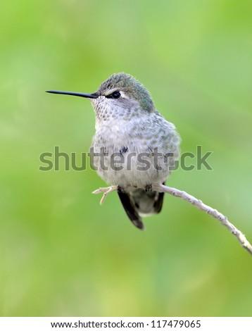 female lucifer hummingbird on branch, phoenix, arizona, united states. exotic colorful small bird against green backdrop. close up profile - stock photo