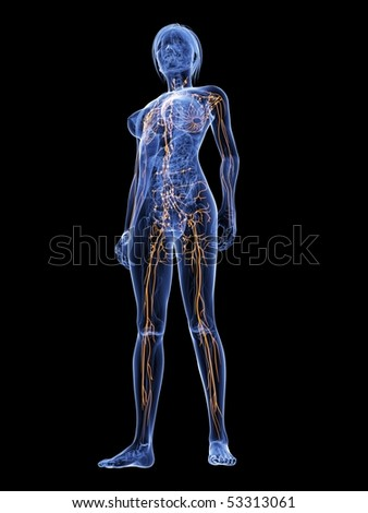 female lymphatic system