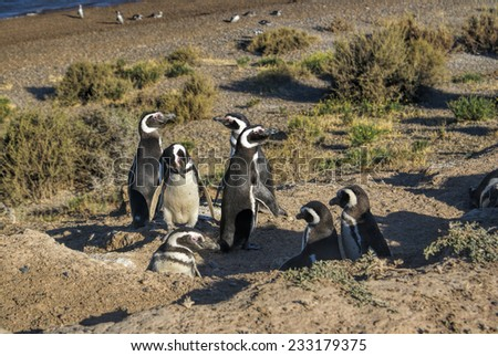 Female Magellanic penguins on the beach in south America