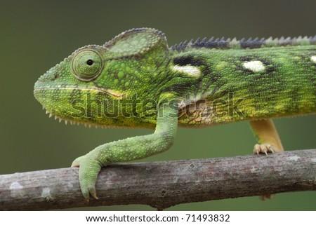 Female Malagasy Giant Chameleon (Furcifer oustaleti) in the Anja Nature Reserve, central Madagascar - stock photo