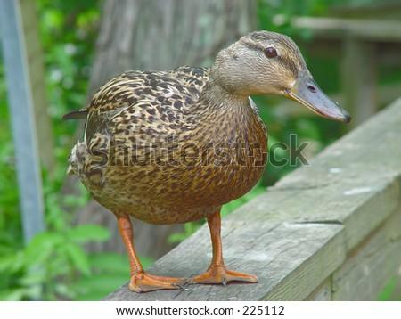 Female mallard duck - stock photo