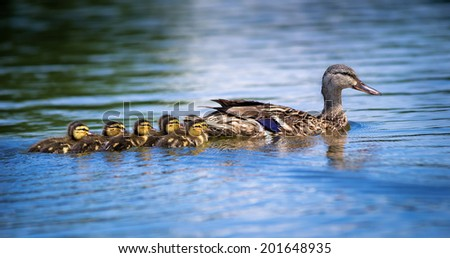 Female Mallard duck (Anas platyrhynchos) and adorable ducklings swimming in lake - stock photo