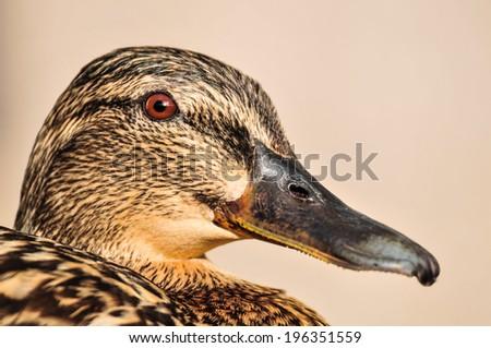 Female Mallard duck close up portrait - stock photo