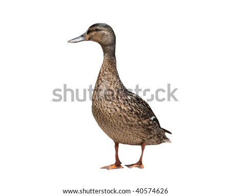 Female mallard duck isolated on a white background - stock photo