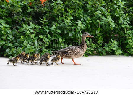 Baby Ducks Stock Images Royalty Free Images Amp Vectors