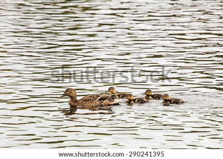 Female mallard duck protecting her young, River Dee, Scotland - stock photo