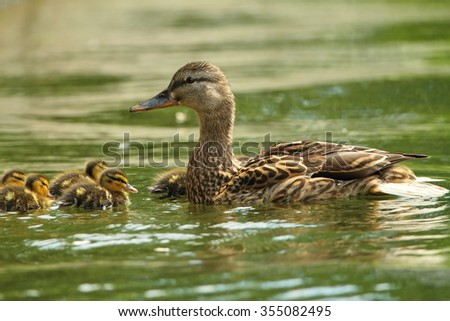female mallard duck with ducklings swimming on lake surface ( Anas platyrhynchos ) - stock photo