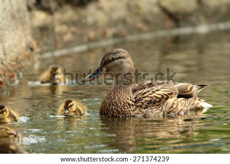 female mallard duck with offspring ( Anas platyrhynchos ) - stock photo