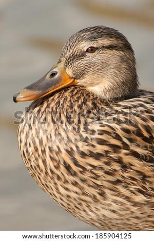 Female mallard portrait  - stock photo
