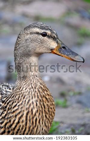 Female mallard portrait, portrait of a duck  - stock photo