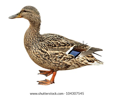 Female Mallard,  standing in front of white background - stock photo
