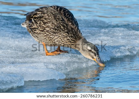 Female Mallard standing on the edge of the ice having a drink. - stock photo