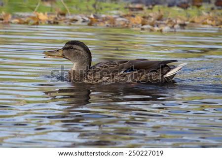 Female Mallard Swimming around her hunting area. - stock photo