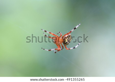 Female Marbled Orb Weaver Spider