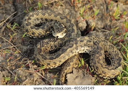 female meadow adder in natural habitat ( Vipera ursinii rakosiensis ) - stock photo