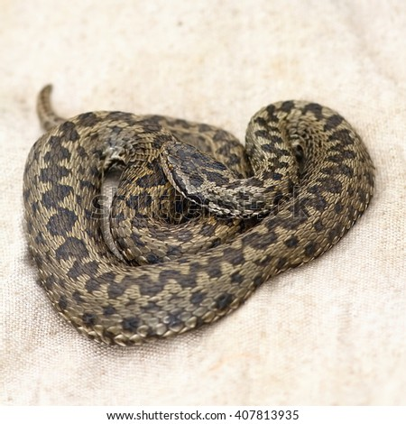 female meadow viper laying on herpetological burlap bag ( Vipera ursinii rakosiensis, the rarest snake in Europe ) - stock photo