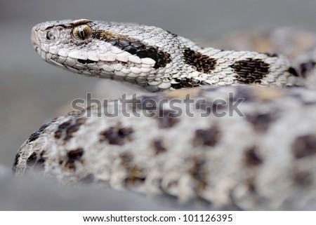 female Montivipera wagneri (mountain viper) - stock photo
