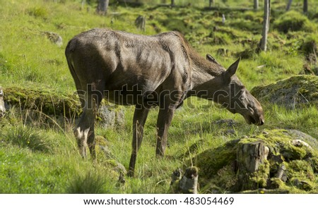 Female Moose (Alces alces) during summer, Lapland