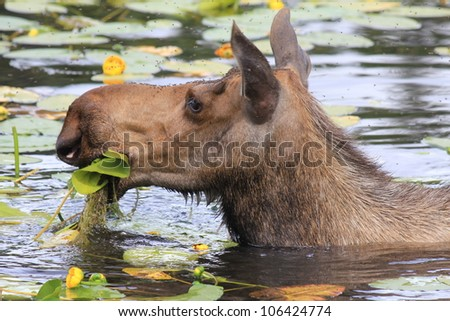 Female moose eating yellow water flowers in small lake in Alaska.