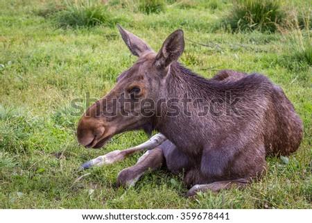 Female moose resting - stock photo