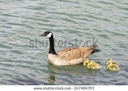 Female, mother Canada goose, scientific name Branta canadensis, swimming with her goslings in the Bay - stock photo