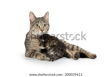 Female mother tabby cat with small kitten nursing and isolated on white background - stock photo