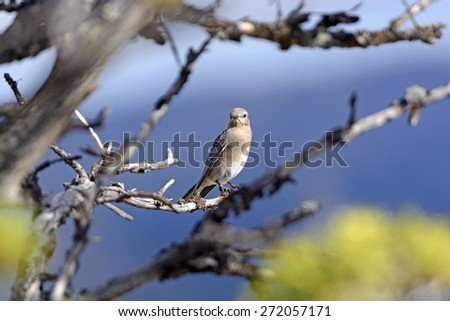 Female Mountain Blue Bird in a Tree in Yellowstone National park