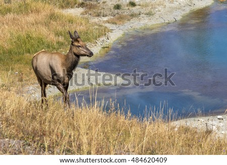 Female mule deer (Odocoileus hemionus) grazing near a thermal spring, Yellowstone National Park, Wyoming, USA