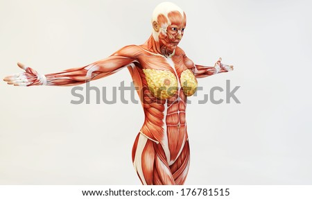 Female muscle anatomy - stock photo