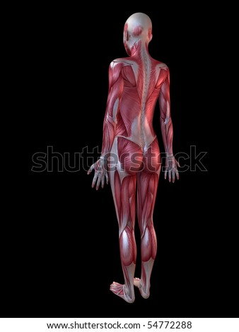 female muscle anatomy stock images, royalty-free images & vectors, Muscles