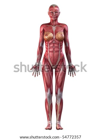 female muscular system - stock photo